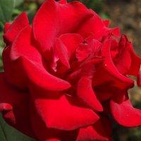 Сентябрьские розы...3 :: Тамара (st.tamara)