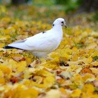 Голубь в осеннем парке :: Марина Романова
