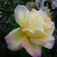 Я слышу шум дождя. Дождь с розой говорит... ... :: Galina Dzubina