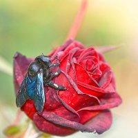 Жук и роза. :: Евгений Кузнецов