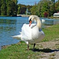 Белые лебеди - птицы прекрасные! :: Galina Dzubina