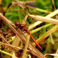 стрекозы сухой травы 3 :: Александр Прокудин
