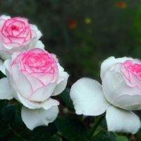 Как хороши, как свежи были розы! :: Вячеслав Платонов