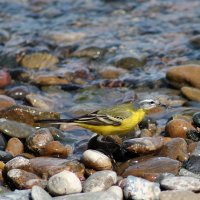 Жёлтая трясогузка, или плиска :: Екатерина Торганская