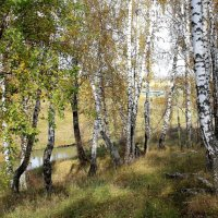 Берёзки на вершине холма. :: Борис Митрохин