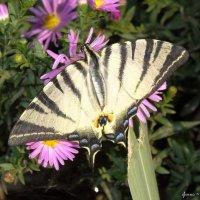 Подалирий — дневная бабочка семейства парусников — редкий вид, занесён в «Красную книгу». :: ~ Елена М ~