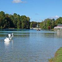 Лебеди вернулись на городское озеро. :: Galina Dzubina