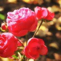 Осенние розы :: Екатерррина Полунина