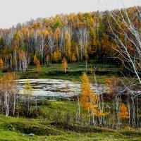 Светятся лиственницы :: Александр Садовский