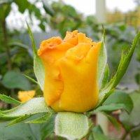 Последние осенние розы в моем саду :: Елена