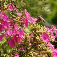 Бабочка бражник :: Наташа Федорова