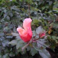 Октябрьская роза :: BoxerMak Mak