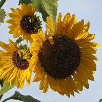 Подсолнухи пахнут солнечной свежестью :: Татьяна Смоляниченко