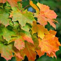 Кленовые листья :: Клара Леоненко