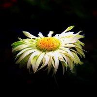 Цветок повисший во мраке :: Nikolay Volkov