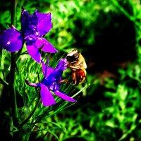 пчела :: Кузьма Сергеев