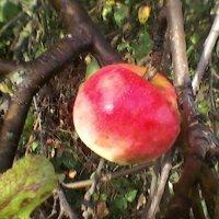 Осеннее яблоко :: Миша Любчик
