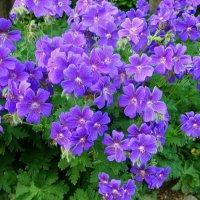 Фиолетовые цветочки :: Nina Yudicheva