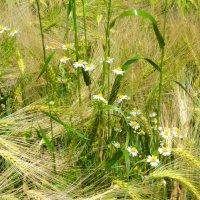 пшеничные кружева :: kuta75 оля оля