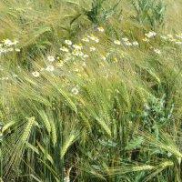пшеничная нежность :: kuta75 оля оля
