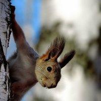 Белка обыкновенная (sciurus vulgaris).Западная Сибирь :: Наталия