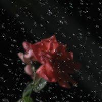 Эксперимент. (Роза днем во время автополива) любимое, лайков мало, что не так? :: Yulia Deimos