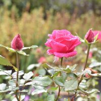 Роза под дождём :: Роман