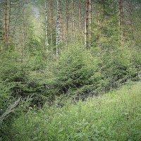 Ёлки зелёные :: Николай Масляев