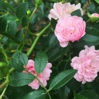 Розовые розы :: Наташа Федорова