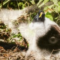 Два разных взгляда...Лемурляндия,Мадагаскар! :: Александр Вивчарик