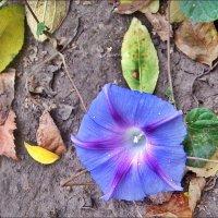 Расстелилась на земле голубая ипомея :: Нина Корешкова