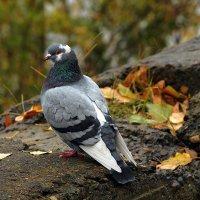 Одинокий голубь на аллее :: Екатерина Торганская