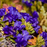 Серенивые цветики :: Света Кондрашова