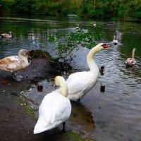 Там, где обитают лебеди... :: Nina Yudicheva