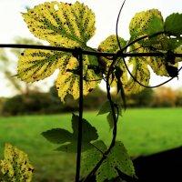 Вуаль осенних листьев :: Валерий Розенталь