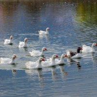 Почти лебеди) :: Светлана Медведева