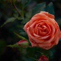 увядающие цветы :: Михаил Фролов