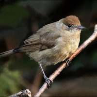 славка- черноголовка-самочка :: Gavrila68 -Женя