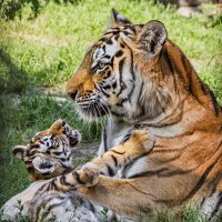 Тигры :: Nn semonov_nn