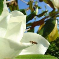 Магнолия и пчелка идет на посадку. :: Оля Богданович