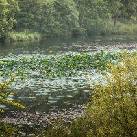 На озере лотосов. :: Сергей Щелкунов