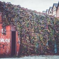 дикий виноград :: Алина Гриб