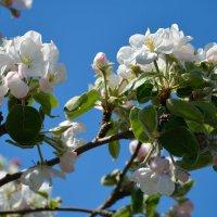 Весны цветенье... (этюд 7) :: Константин Жирнов