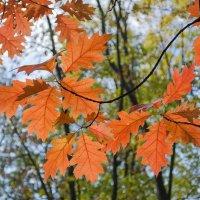 Огоньки осенних листьев :: Сергей Тарабара