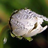 Роса на цветке. :: Маргарита ( Марта ) Дрожжина