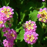 Пчелка на цветке. :: Оля Богданович