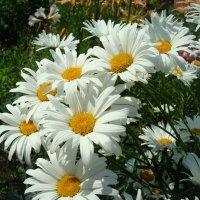 Солнечные ромашки :: Стас Борискин