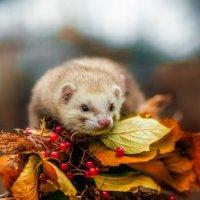 Осень и хорек :: Ольга Невская