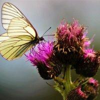 Бабочка :: Сергей Чиняев