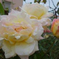 Розы октября.... :: Galina Dzubina